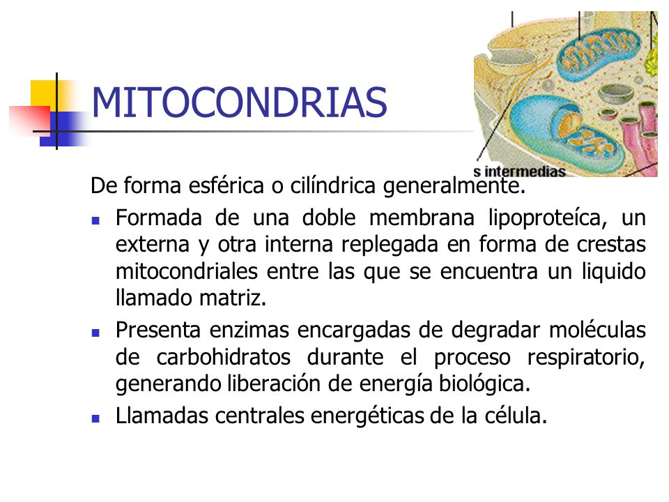 MITOCONDRIAS De forma esférica o cilíndrica generalmente.