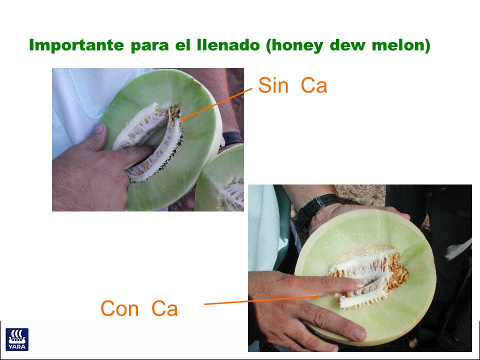Importante para el llenado (honey dew melon)