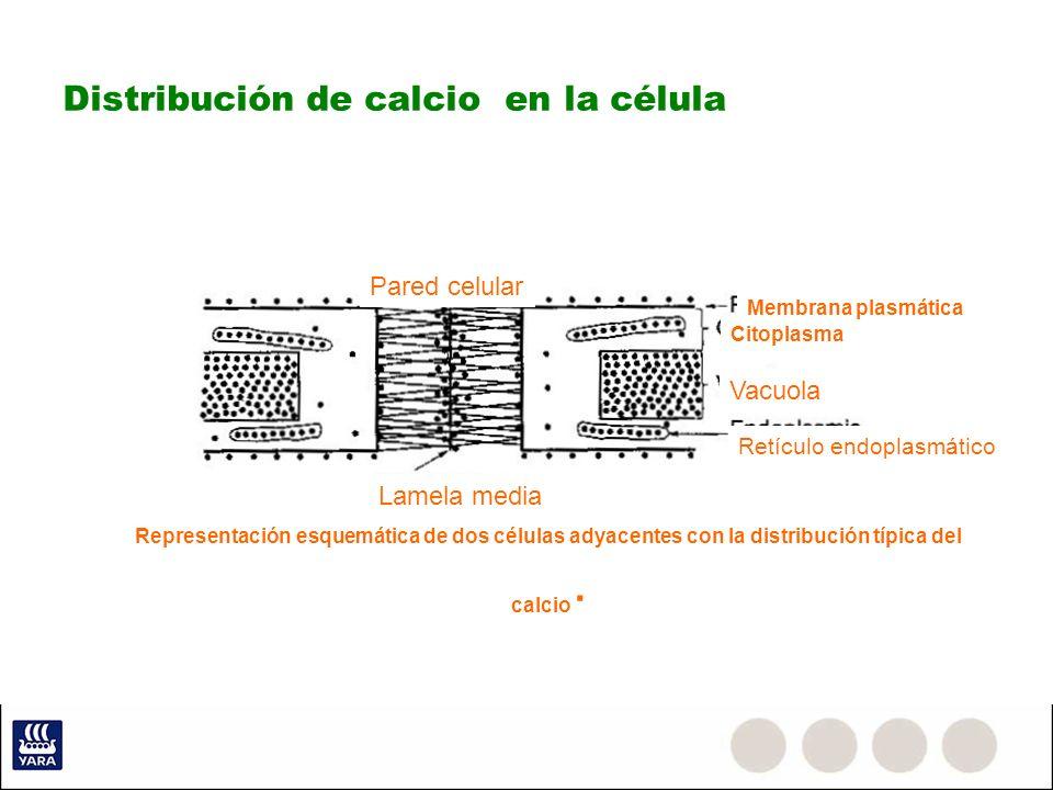 Distribución de calcio en la célula