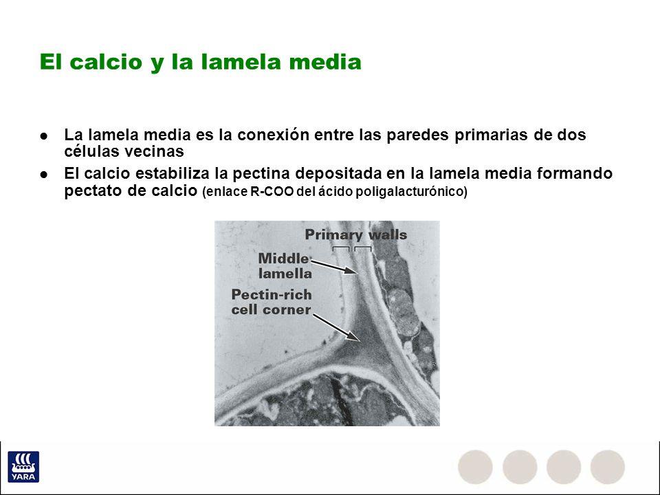 El calcio y la lamela media