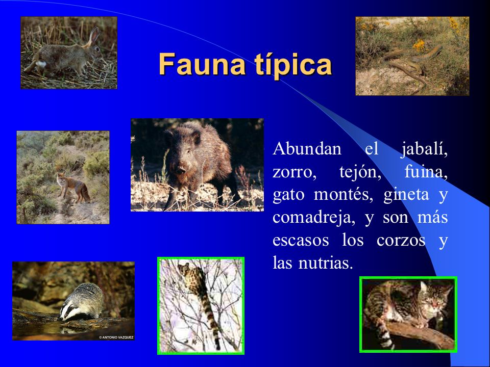 Fauna típica Abundan el jabalí, zorro, tejón, fuina, gato montés, gineta y comadreja, y son más escasos los corzos y las nutrias.