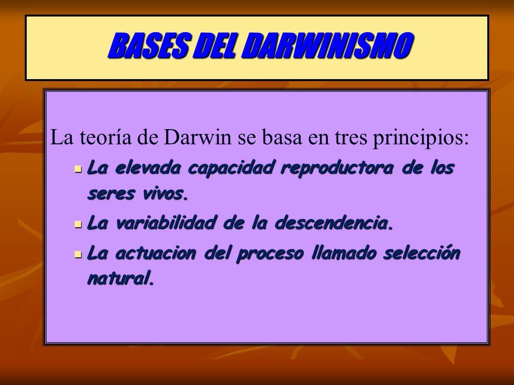 BASES DEL DARWINISMO La teoría de Darwin se basa en tres principios: