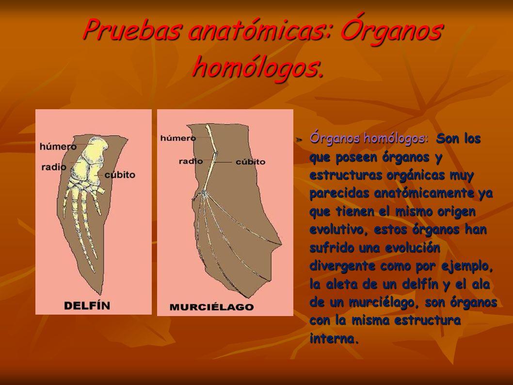 Pruebas anatómicas: Órganos homólogos.