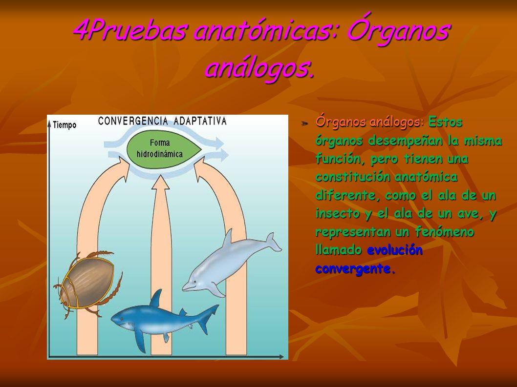 4Pruebas anatómicas: Órganos análogos.