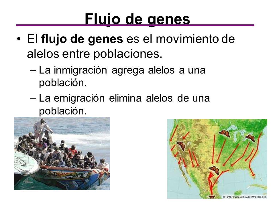 Flujo de genes El flujo de genes es el movimiento de alelos entre poblaciones. La inmigración agrega alelos a una población.