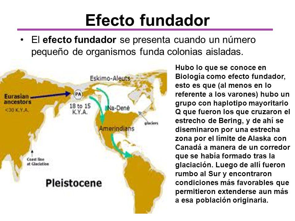 Efecto fundador El efecto fundador se presenta cuando un número pequeño de organismos funda colonias aisladas.