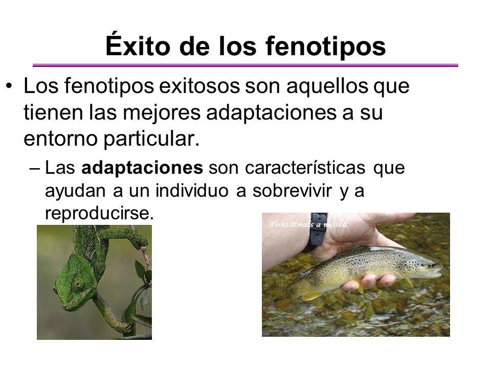 Éxito de los fenotipos Los fenotipos exitosos son aquellos que tienen las mejores adaptaciones a su entorno particular.