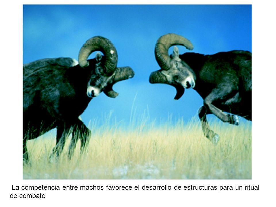 Figura 15-11 La competencia entre machos favorece el desarrollo de estructuras para un ritual de combate