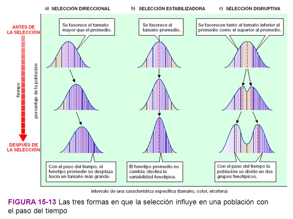 Figura 15-13 Las tres formas en que la selección influye en una población con el paso del tiempo