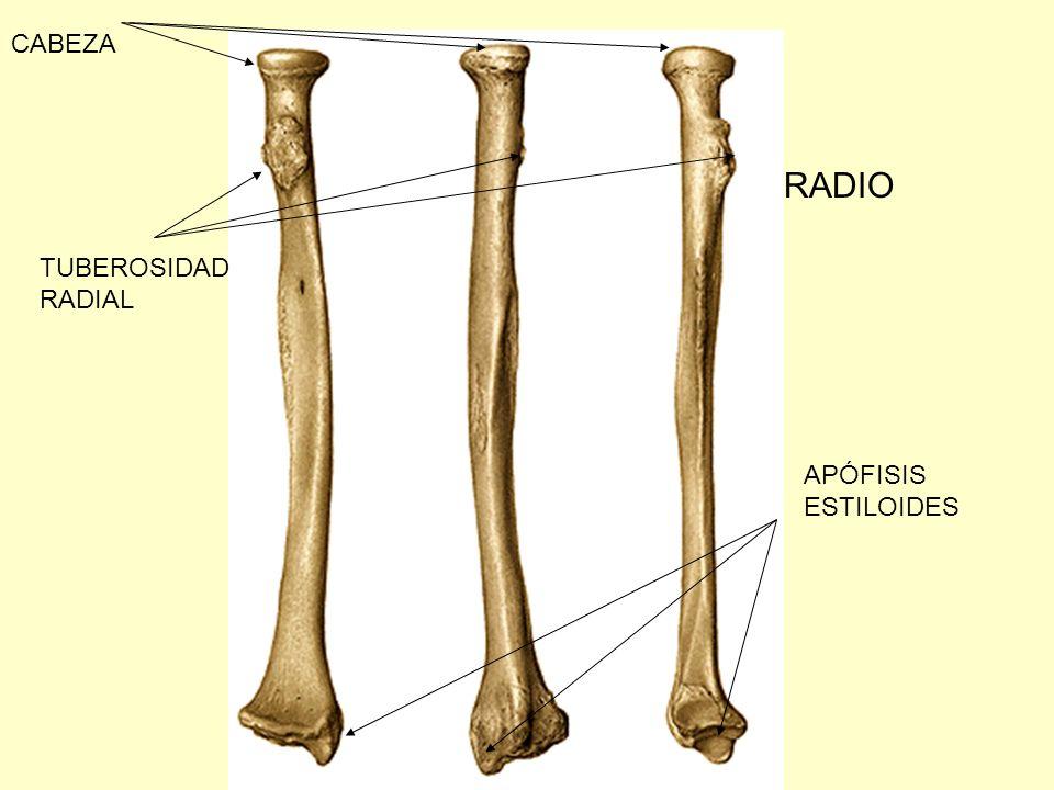 Magnífico Anatomía Proceso Estiloides Galería - Imágenes de Anatomía ...