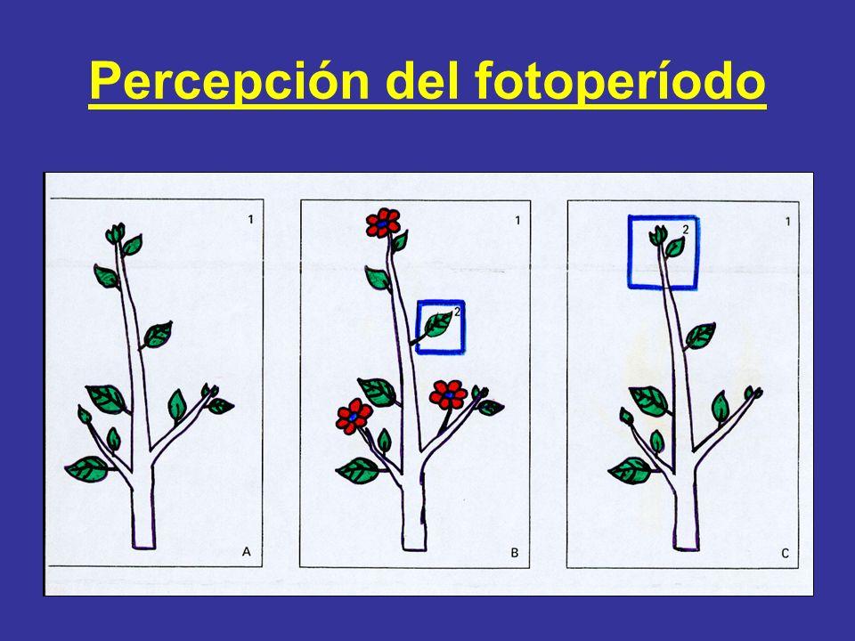 Percepción del fotoperíodo