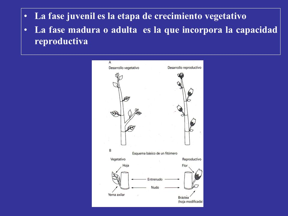 La fase juvenil es la etapa de crecimiento vegetativo