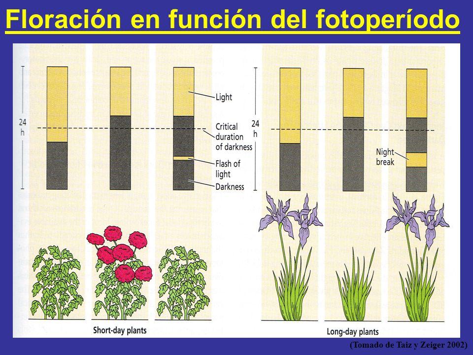 Floración en función del fotoperíodo