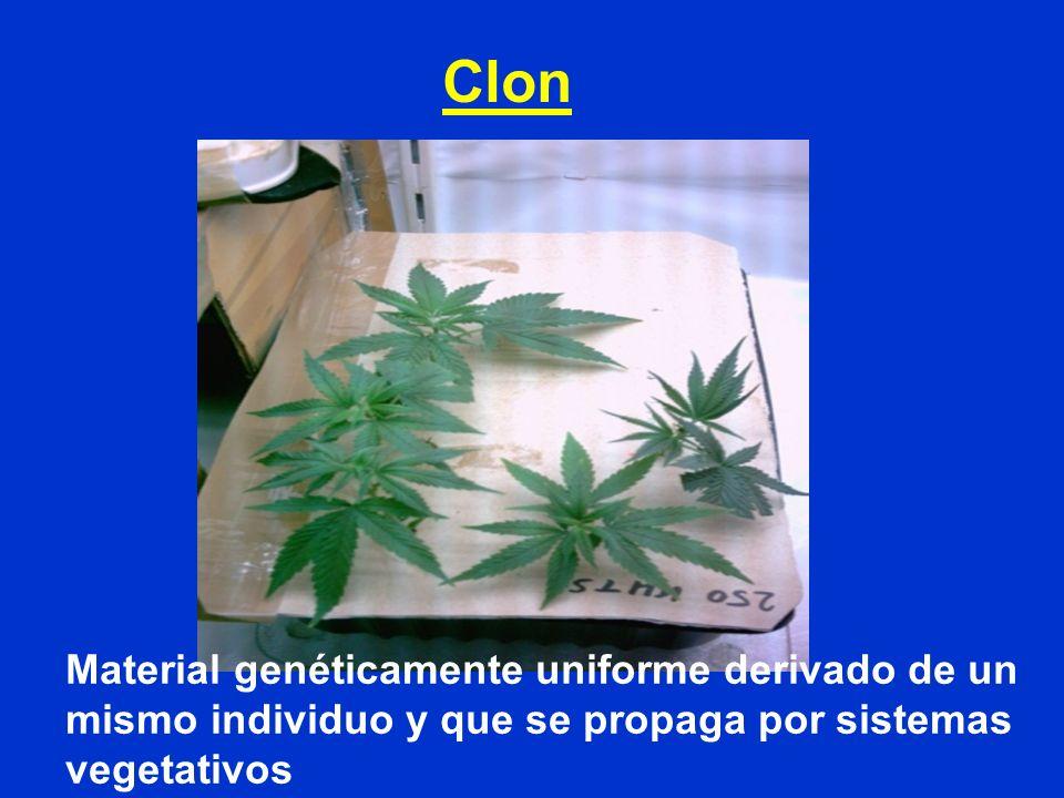 Clon Material genéticamente uniforme derivado de un mismo individuo y que se propaga por sistemas vegetativos.