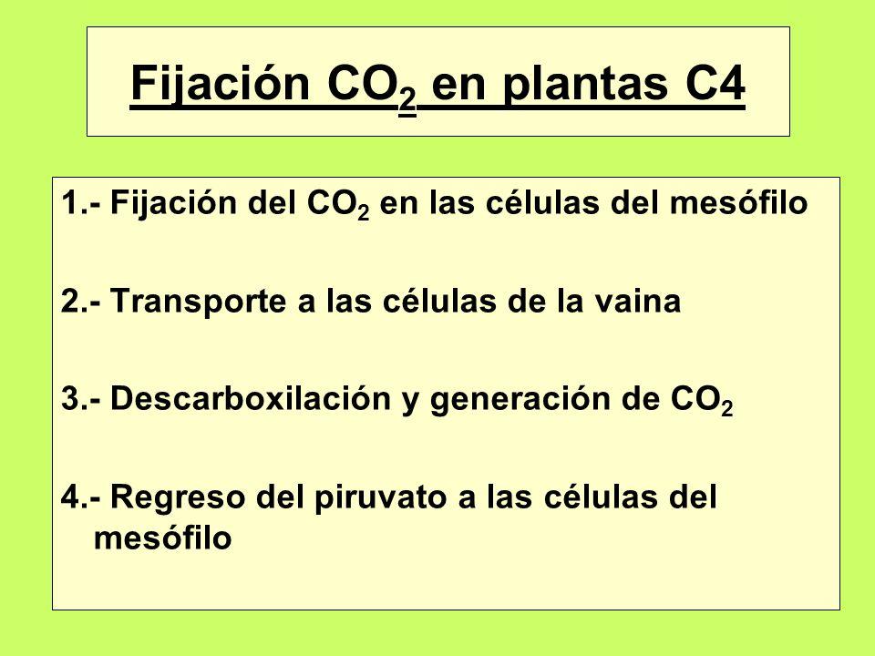 Fijación CO2 en plantas C4