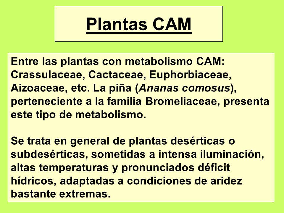 Plantas CAM