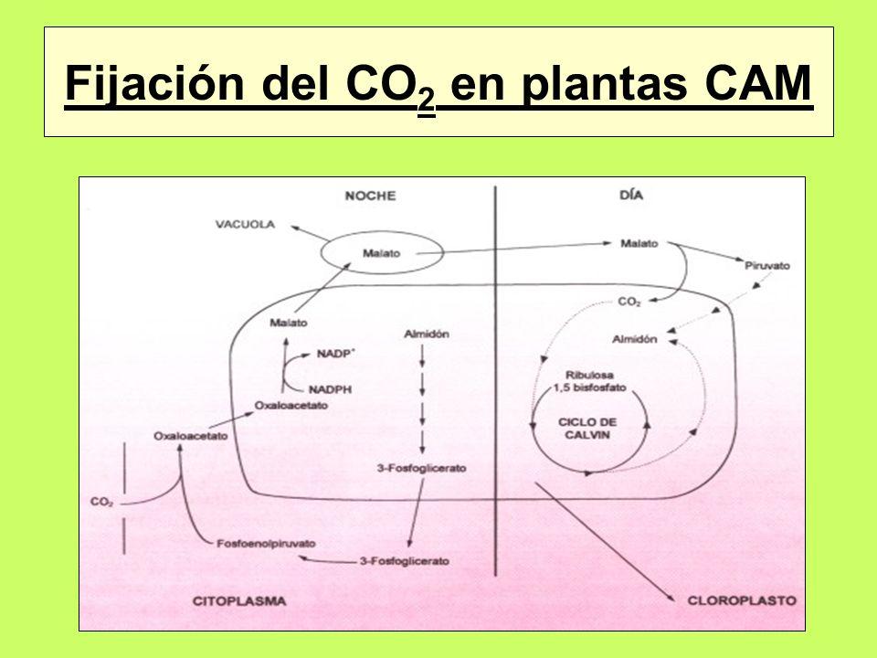 Fijación del CO2 en plantas CAM