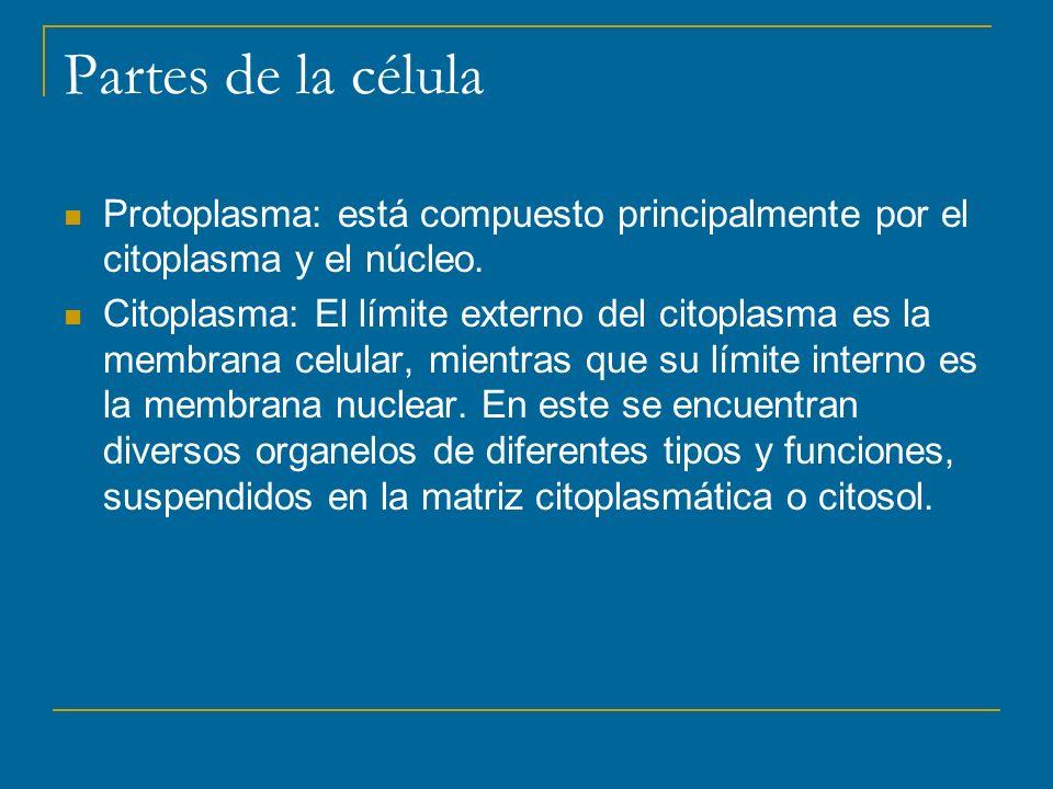Partes de la célula Protoplasma: está compuesto principalmente por el citoplasma y el núcleo.