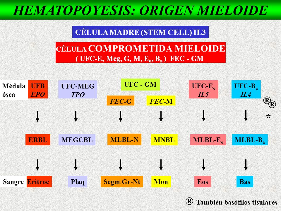 HEMATOPOYESIS: ORIGEN MIELOIDE