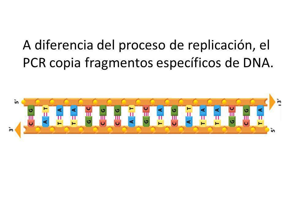 A diferencia del proceso de replicación, el PCR copia fragmentos específicos de DNA.