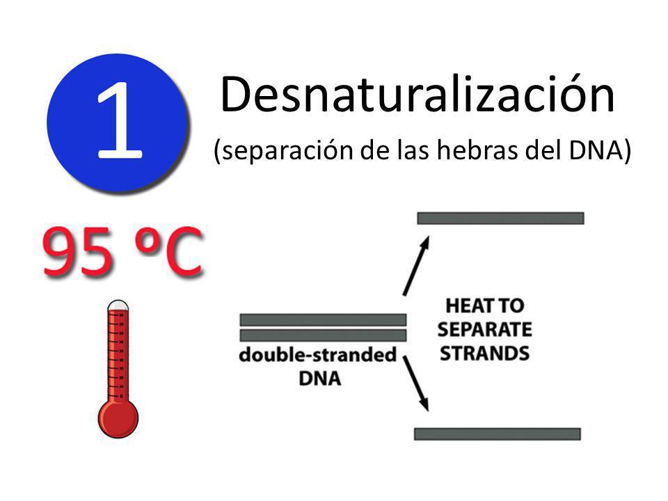 Desnaturalización (separación de las hebras del DNA)