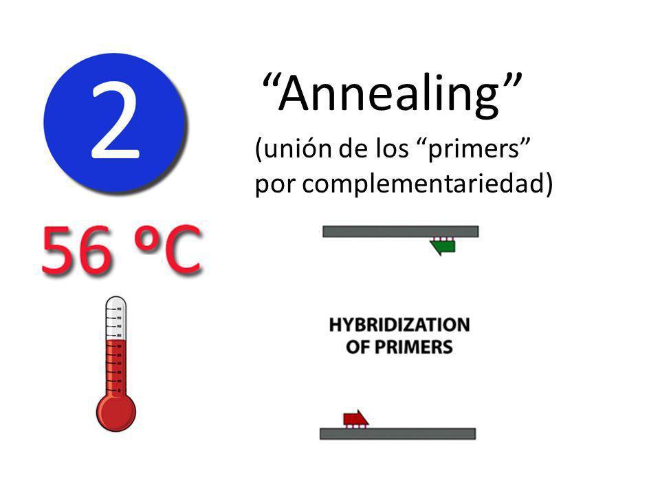 Annealing (unión de los primers por complementariedad)