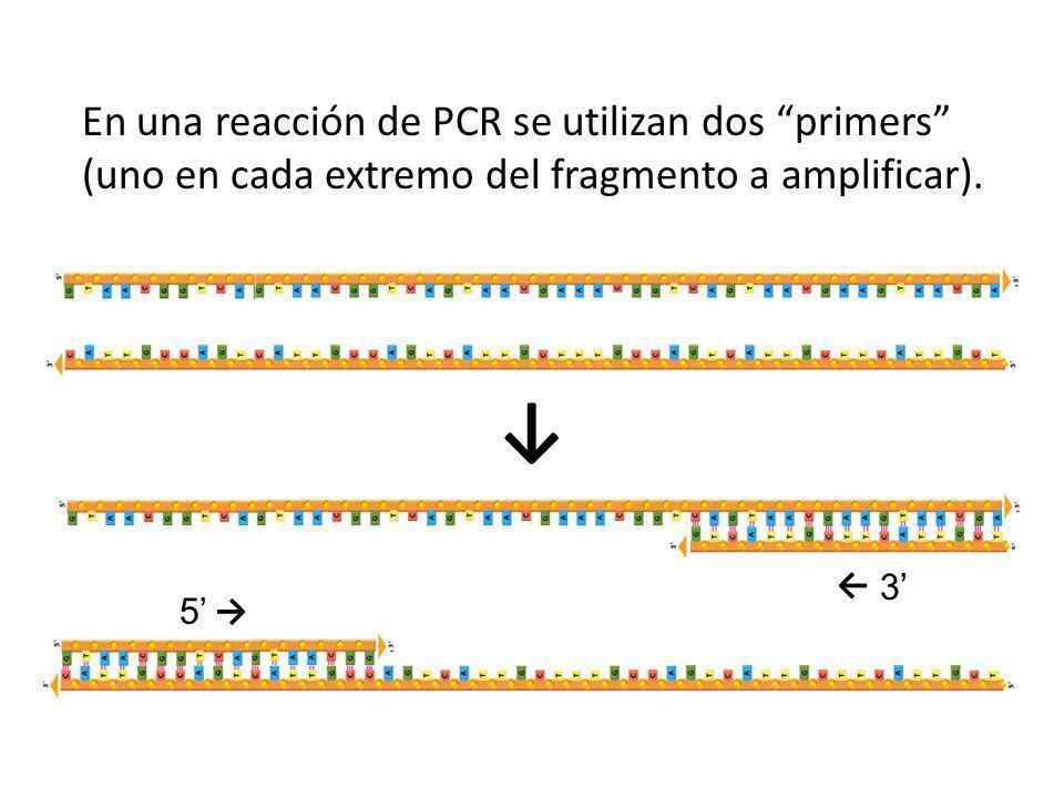 En una reacción de PCR se utilizan dos primers (uno en cada extremo del fragmento a amplificar).