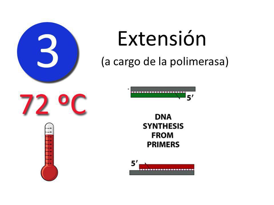 Extensión (a cargo de la polimerasa)