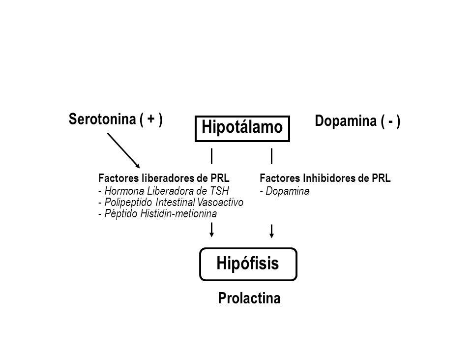 Hipotálamo Hipófisis Serotonina ( + ) Dopamina ( - ) Prolactina