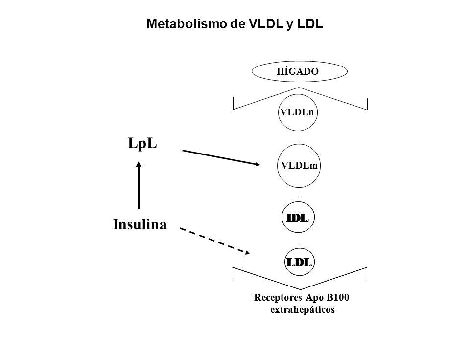 LpL Insulina Metabolismo de VLDL y LDL IDL IDL LDL LDL HÍGADO VLDLn