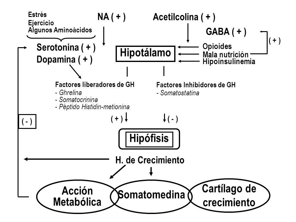 Hipotálamo Hipófisis Acción Cartílago de Somatomedina crecimiento