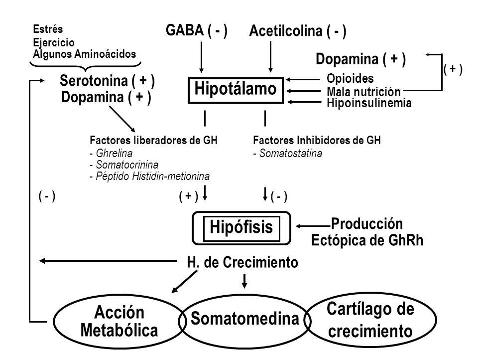 Hipotálamo Hipófisis Acción Metabólica Cartílago de crecimiento