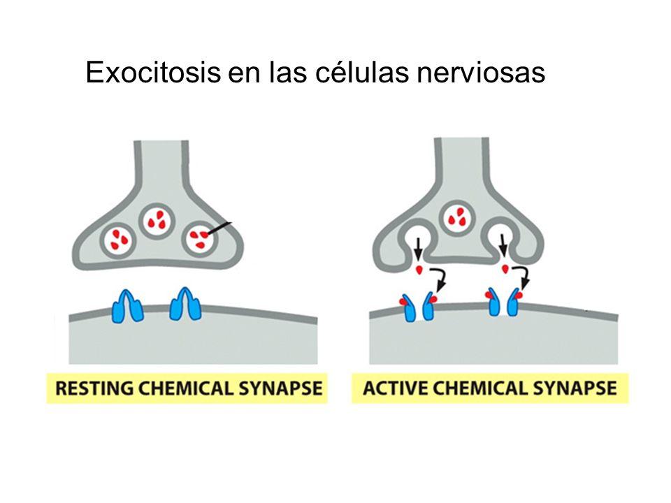 Exocitosis en las células nerviosas