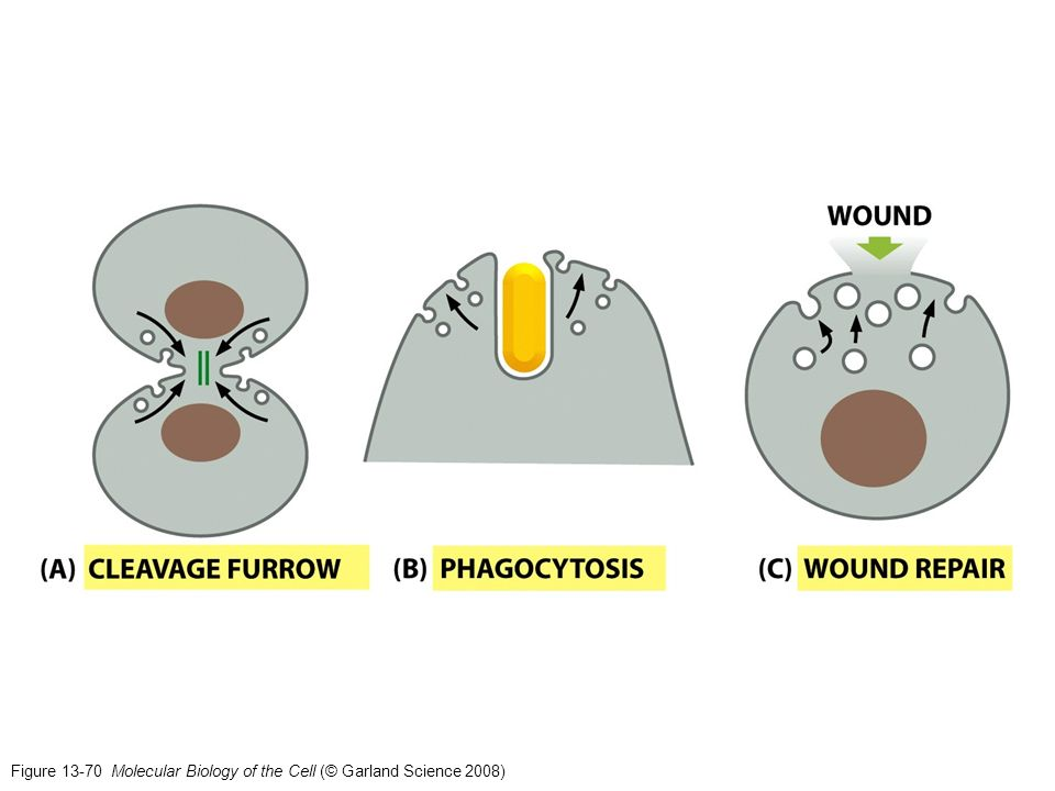 Figure 13-70 Molecular Biology of the Cell (© Garland Science 2008)