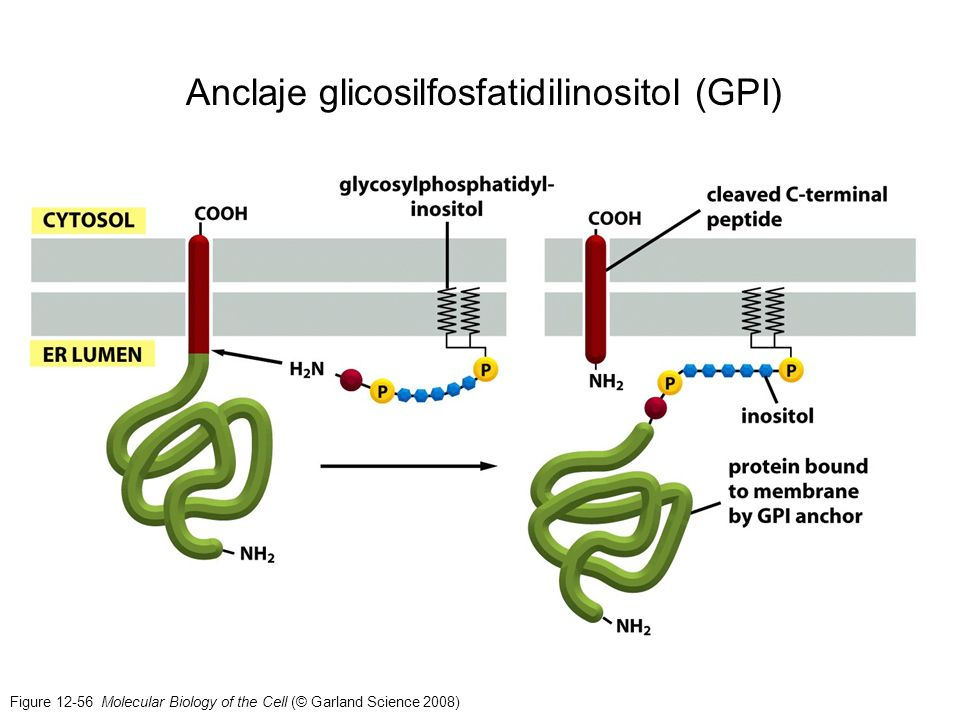 Anclaje glicosilfosfatidilinositol (GPI)