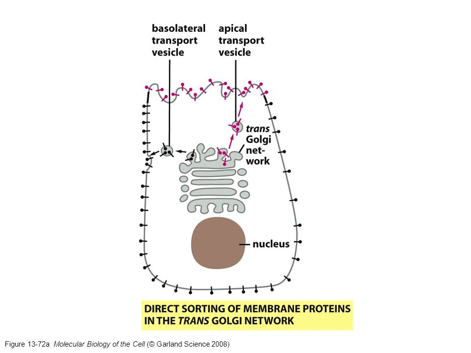 Figure 13-72a Molecular Biology of the Cell (© Garland Science 2008)