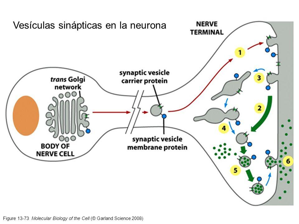 Vesículas sinápticas en la neurona