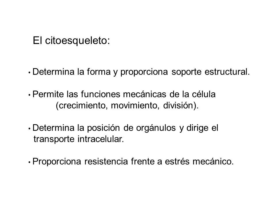 El citoesqueleto: (crecimiento, movimiento, división).