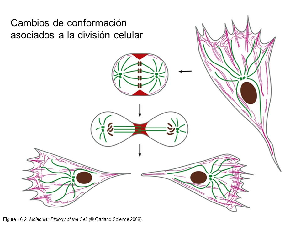 Cambios de conformación asociados a la división celular