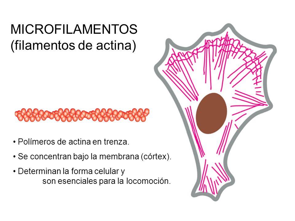(filamentos de actina)