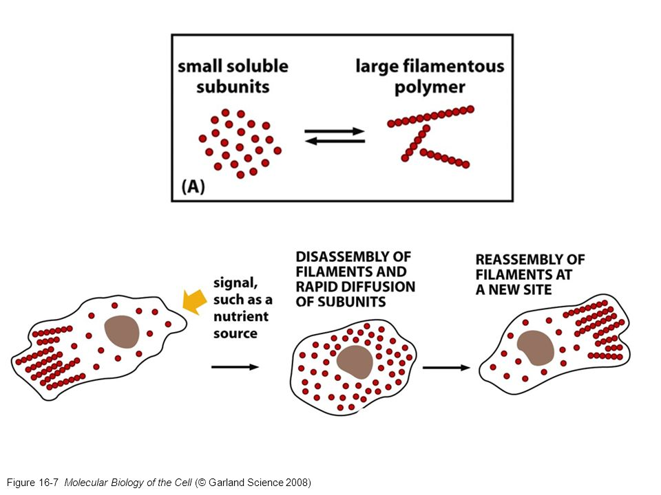 Figure 16-7 Molecular Biology of the Cell (© Garland Science 2008)