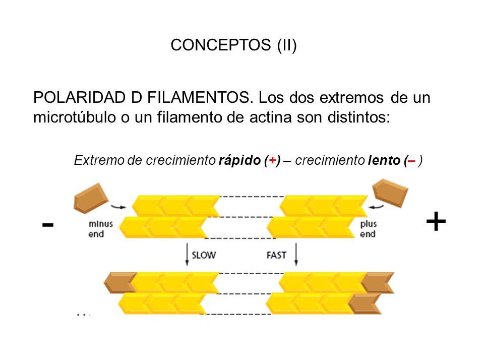 - + CONCEPTOS (II) POLARIDAD D FILAMENTOS. Los dos extremos de un