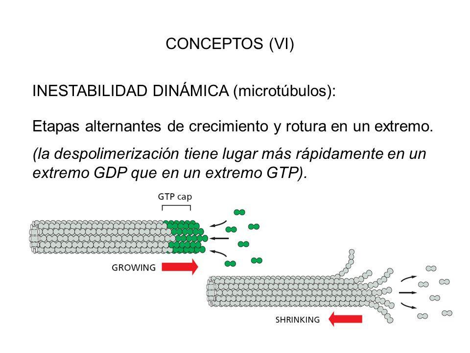 CONCEPTOS (VI) INESTABILIDAD DINÁMICA (microtúbulos): Etapas alternantes de crecimiento y rotura en un extremo.