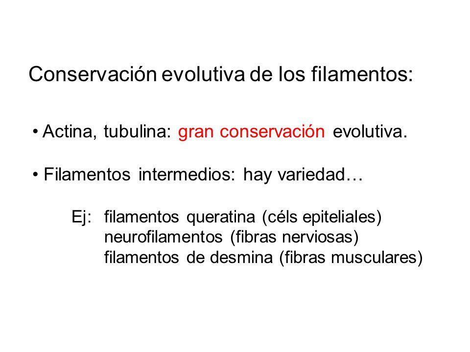 Conservación evolutiva de los filamentos: