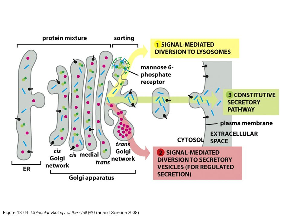 Figure 13-64 Molecular Biology of the Cell (© Garland Science 2008)
