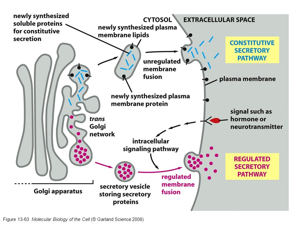 Figure 13-63 Molecular Biology of the Cell (© Garland Science 2008)