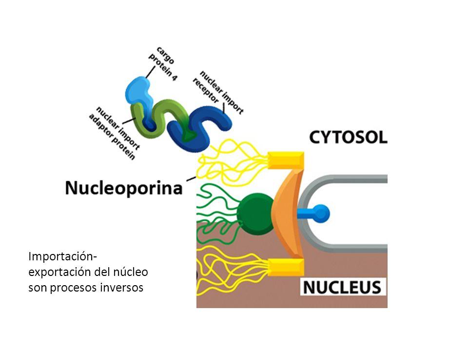 Importación-exportación del núcleo son procesos inversos
