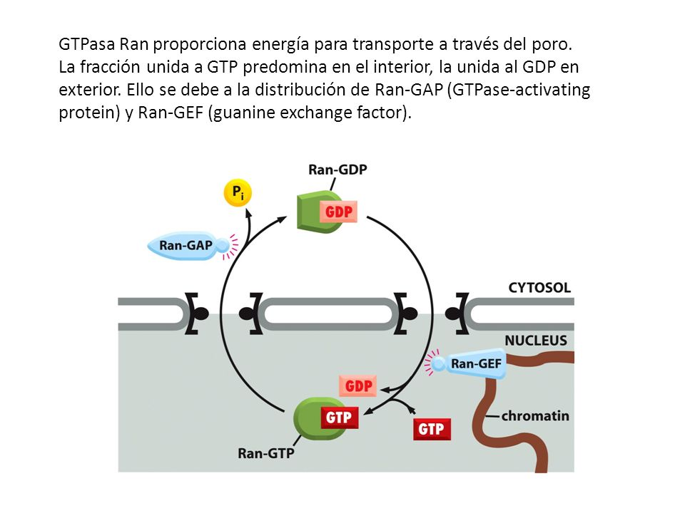 GTPasa Ran proporciona energía para transporte a través del poro.