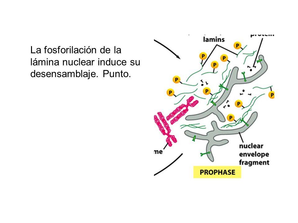 La fosforilación de la lámina nuclear induce su desensamblaje. Punto.