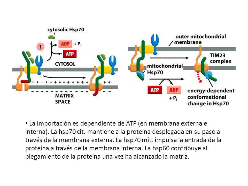La importación es dependiente de ATP (en membrana externa e interna)